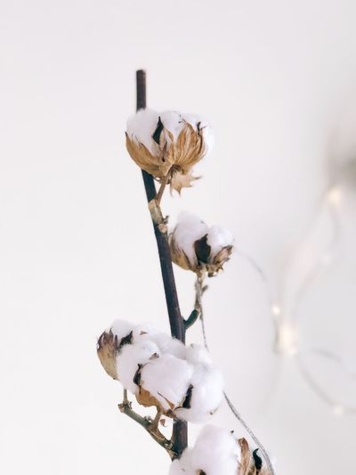 Cotton branch decoration Material Cotton Flower Peaceful Calm Mood Bokeh Fairy Lights Winter Dry Branch Cotton No People Day Nature Close-up