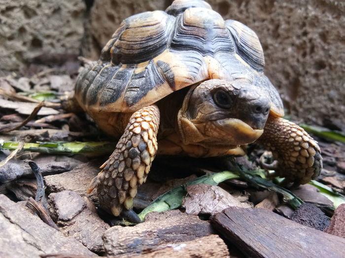 EyeEm Selects Tortoise Shell Reptile Tortoise Iguana Living Organism Close-up Turtle