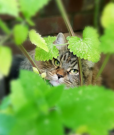 Animal Wildlife One Animal Animal Themes Nature No People Camouflage Outdoors Portrait Beauty In Nature Green Color Leaf Cat♡ Pets Feline Domestic Cat TabbyCat Catnipaddict Animals In The Wild Day Close-up Leopard
