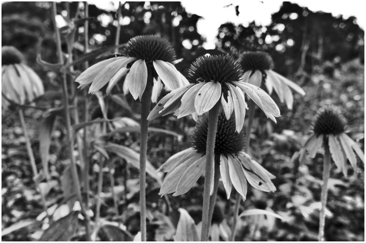 Botanical Garden 🌸 | Flower Growth Plant Nature Flower Head Blooming Beauty In Nature Day Focus On Foreground Outdoors Close-up Blume Flowers, Nature And Beauty Bnw_collection Schwarz & Weiß Blackandwhite Photography Flower Black And White Natur Flowers_collection Blumen