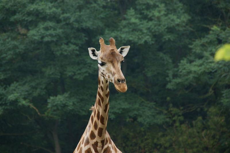Portrait of giraffe in forest