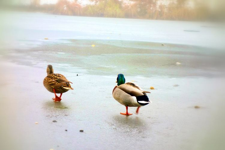 Walking on ice ❄ Its Cold Outside Nature On Your Doorstep Urban Nature Urban Photography Naturelovers Nature Photography Ducks Showcase: January Austrianphotographers Vienna Animal Photography Frozen Lake From Where I Stand Winterlandschaft Wintertime Winterlake Winterwonderland Pastel Power Animals Telling Stories Differently