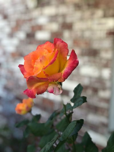 Being random again. Nature_collection Nature Flowering Plant Flower Plant Beauty In Nature Growth Vulnerability  Focus On Foreground Rosé