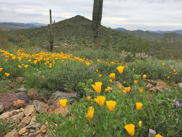 Beauty In Nature Blooming Field Flower Growth Nature No People Outdoors Sky Sonoran Preserve Yellow