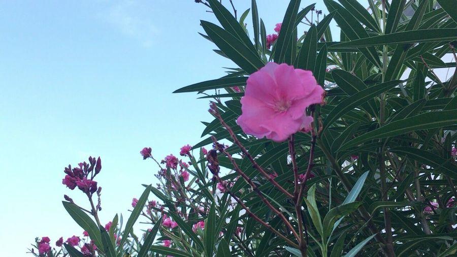 Nerium Oleander Var. Indicum Oleander Nerium Oleander Summer Flowers Kyoto Summer Flower