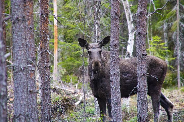 Moose Swedish