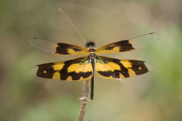 Brown-spotted