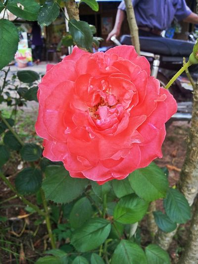 Rosy IFlower