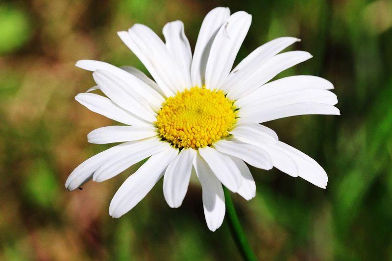 Daisy Daisy Flowers Flower White The Essence Of Summer