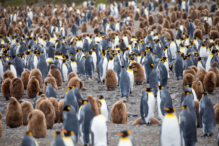 Animal Animal Themes Animal Wildlife Animals In The Wild Bird Colony Day Flock Of Birds Group Of Animals Land Large Group Of Animals Nature No People Penguin Togetherness Vertebrate Young Animal Young Bird