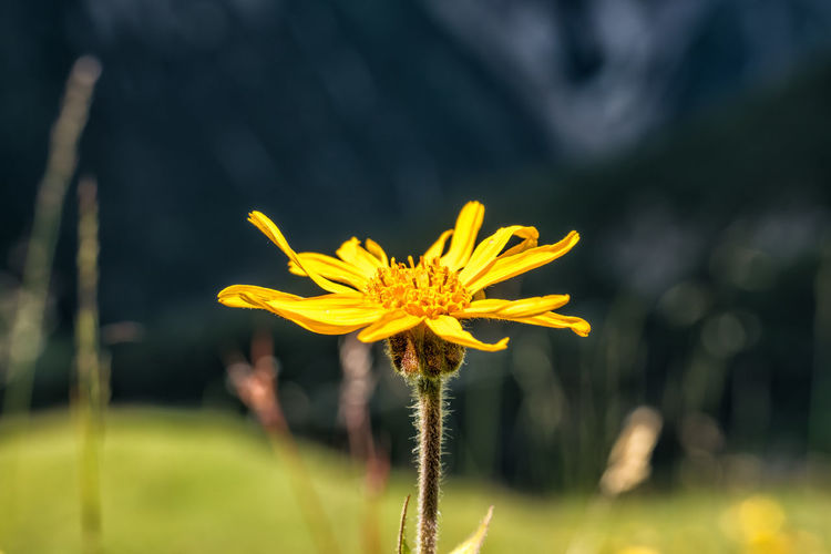 Mountain arnica Flower Flowering Plant Plant Fragility Vulnerability  Freshness Yellow Growth Beauty In Nature Focus On Foreground Flower Head Petal Inflorescence Nature Day No People Field Plant Stem Outdoors Pollen Sepal Arnica Montana Wolf's Bane Leopard's Bane Mountain Tobacco Close-up Alps Tyrol Austria