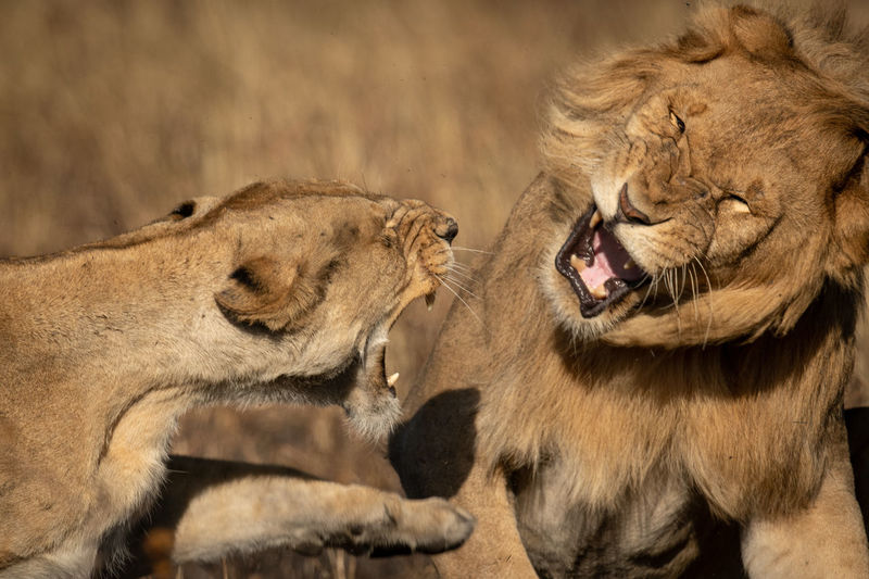Close-up of lioness and lion snarling
