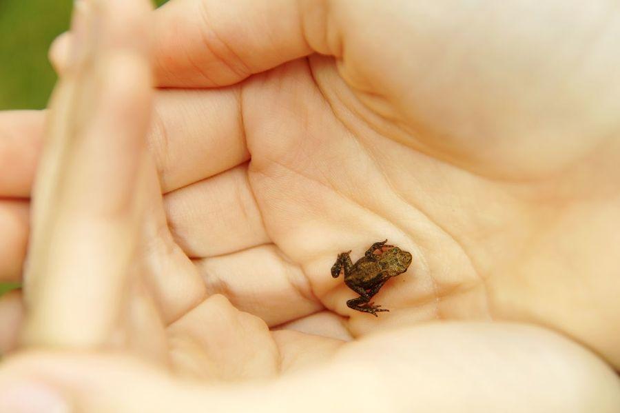 Frog in hands Frog Babyfrog EyeEm Selects Human Hand Sea Life Close-up Tiny Amphibian