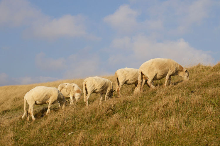 Herd of sheep grazing on grassy hill against sky