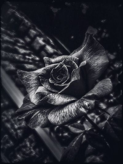 Roses Flower Nature Petal Blackandwhite Textures And Surfaces Rose - Flower Flower Head Beauty In Nature Close-up Outdoors Summer Solemn Tranquility Taking Photos Quiet Moments