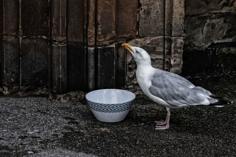 Seagull Animal Themes Animal Wildlife Animals In The Wild Bird Bowl Close-up Day Drinking Nature No People One Animal Outdoors Seagull Swallowing
