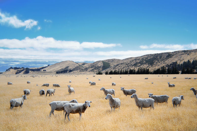 Flock Of Sheep Grazing On Pasture Against Sky