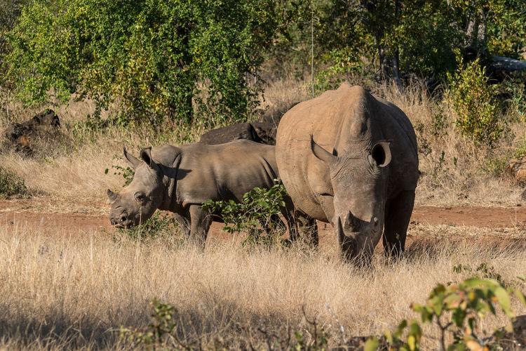 Rhinoceros grazing on grassy field