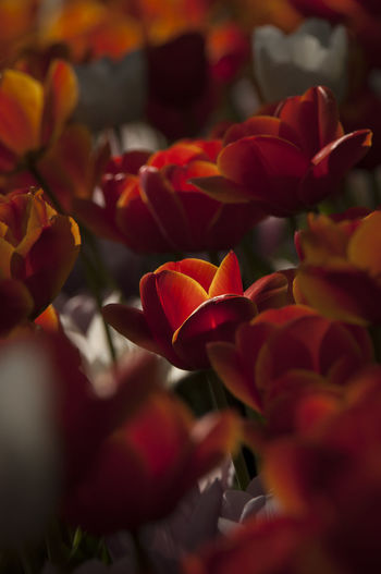 Beauty In Nature Blooming Botany Colorfull EyeEm Nature Lover Flower Flower Collection Flowers Flowers,Plants & Garden Garden Light And Shadow Pralormo Red Springtime Tulip