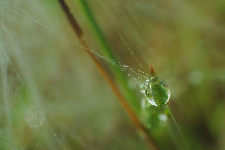 exotic dew