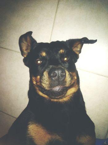 Dog Time  Rottweiler Pet Donna I love U