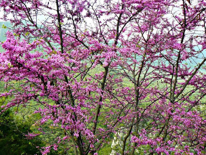 GREECE ♥♥ Backgrounds Beauty In Nature Blooming Blossom Botany Branch Cherry Tree Close-up Day Flower Flower Head Fragility Freshness Growth Low Angle View Nature Outdoors Pink Pink Color Purple Blossoms Spring Springtime Tree