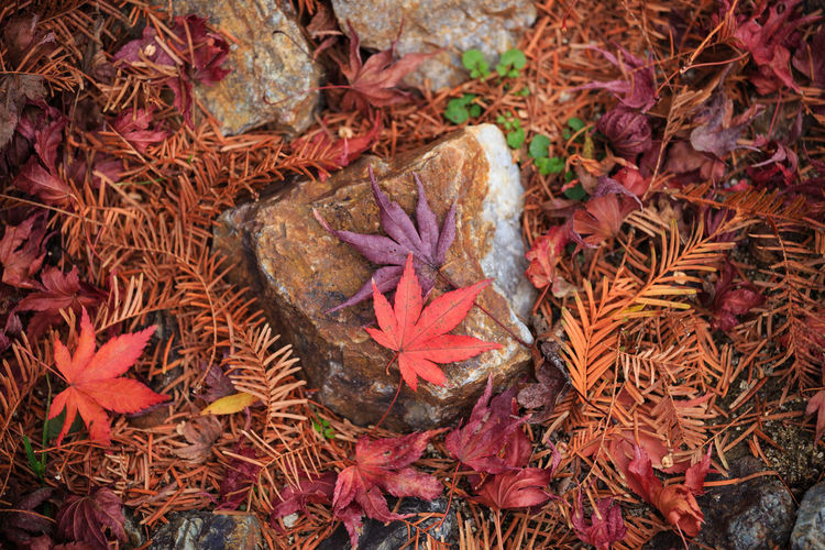 Leaf Plant Part Plant No People Day Nature Autumn Close-up Beauty In Nature Change Leaves Outdoors Maple Leaf Momiji Japanese Garden Fall Beauty Fall Leaves Autumn colors Red Orange Color Branches And Leaves
