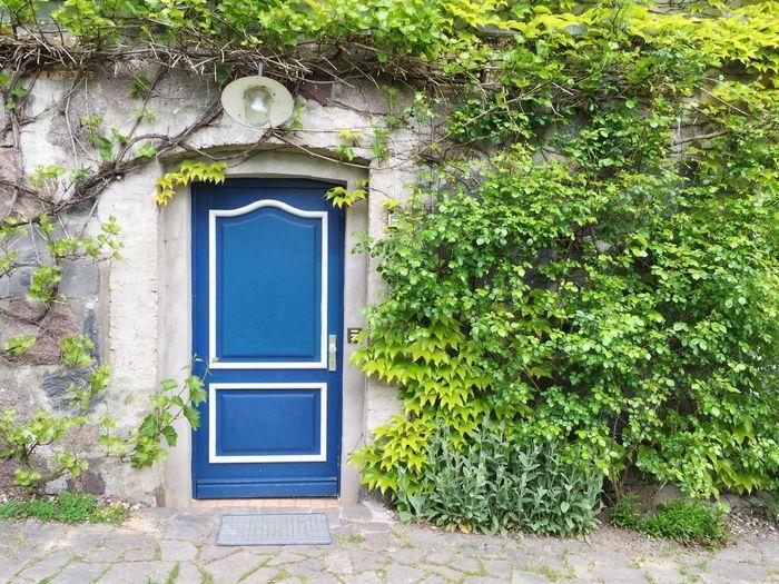 Blue Door Ivy Wall