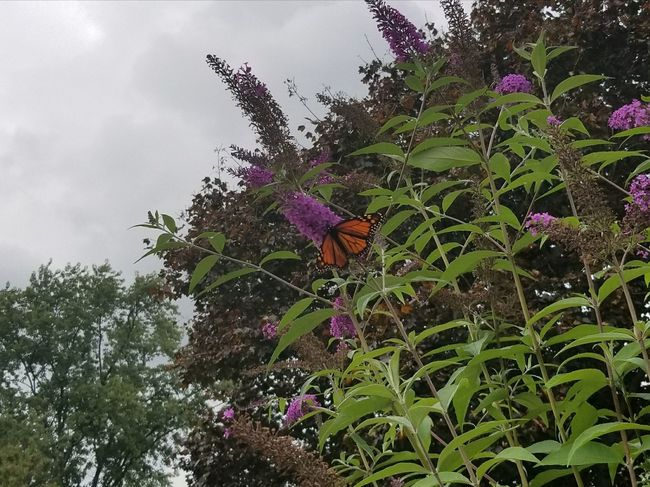 Flower Fragility Growth Nature Low Angle View Beauty In Nature No People Petal Day Freshness Outdoors Purple Plant Cloud - Sky Tree Green Color Butterfly - Insect Sky Flower Head Close-up Monarch Butterfly Insect Butterfly Pennsylvania