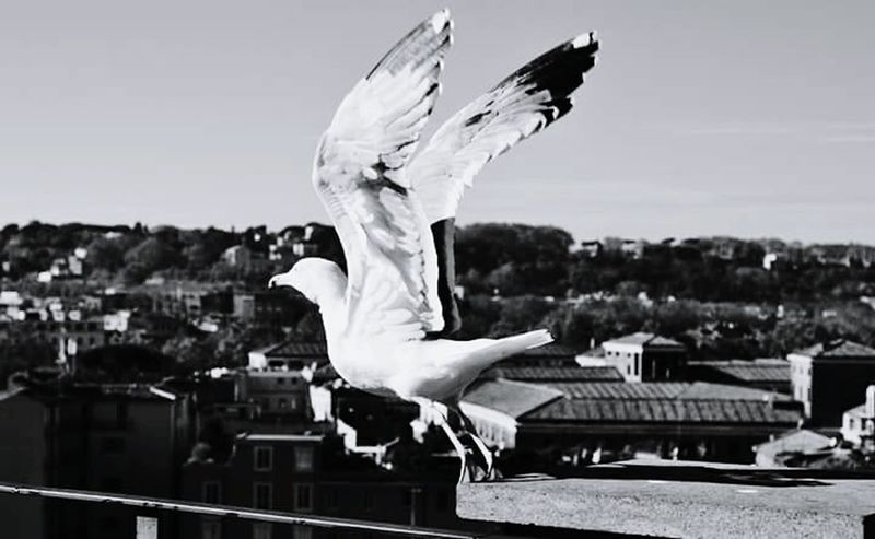 I am free like a bird Birds Bird Photography Sea Mew Seagull View Blackandwhite Animals Beautiful Day Likeforlike Followme Blackandwhite Photography Black & White Beauty City View  Palatine Rome Blackandwhitephotography Capture The Moment Capturing Freedom Life Wings Birds In Flight Flight Flying Feelings