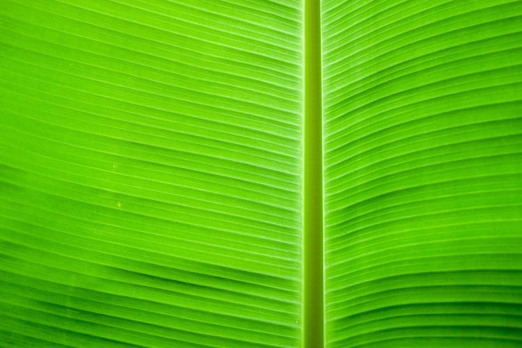 Backgrounds Banana Leaf Banana Tree Beauty In Nature Close-up Day Fern Fragility Freshness Frond Full Frame Green Color Growth Leaf Lush Foliage Nature No People Outdoors Palm Leaf Palm Tree Pattern Plant Textured  Tree