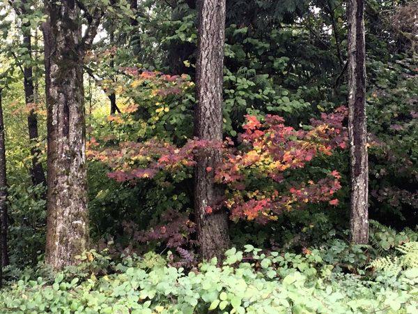 Plant Tree Trunk Outdoors Growth Nature Beauty In Nature Tree Leaves Tranquil Scene Scenics Red Color Fall Beauty Fall Colors Red Sneaking In The Scene No People Day Green Color Lifestyles Ranch Life Crisp Fall Weather Turning Leaves Forest Photography I Love Photograpy Landscape_photography