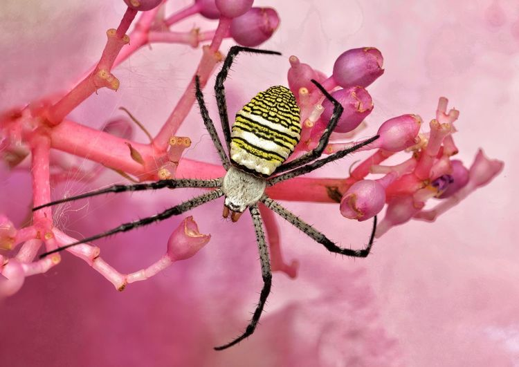 Close-up of spider on pink flower