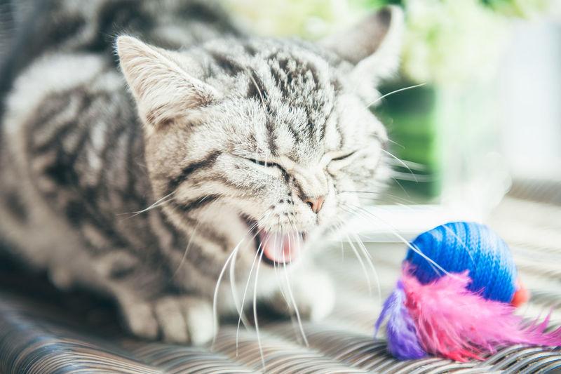 Mammal Cat