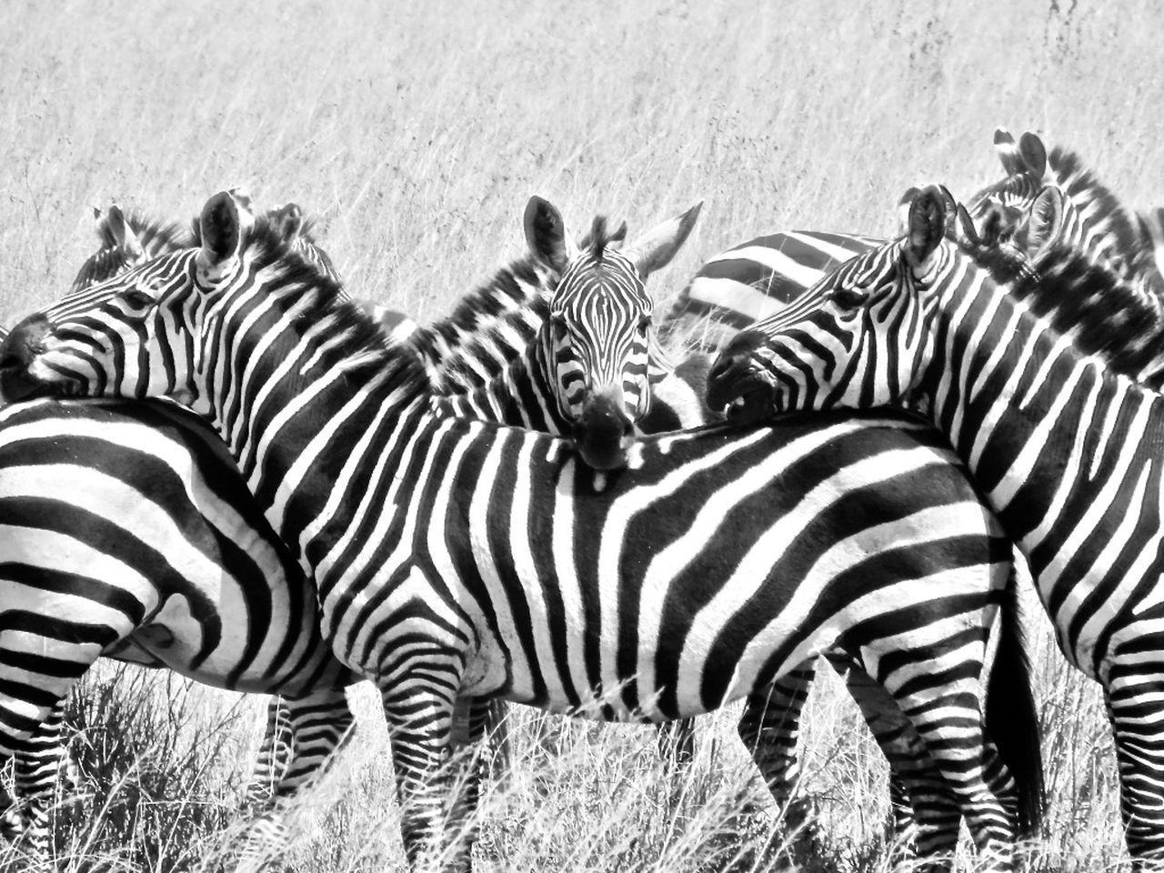 striped, zebra, animals in the wild, animal wildlife, animal themes, outdoors, mammal, no people, safari animals, nature, grass, day, wilderness area