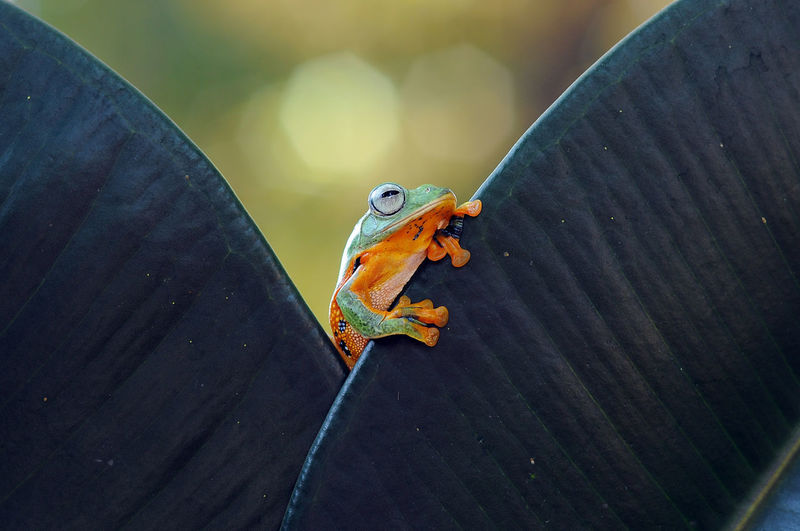 flying frog, frogs, tree frog, Macro Photography Tree Frog Amphibian Animal Animal Themes Animals Close-up Flying Frog Macro No People