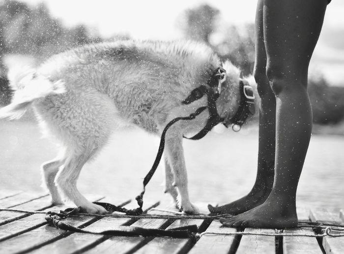 Shaking Dog On Pier