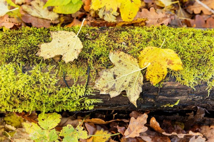leaves on a piece of wood with moss during autumn Autumn Cycle Green Moss & Lichen Nature Tree Branch Brown Fall Flora Foliage Leaf Moisture Moss Mouldy Scrub Undergrowth Vegetation Wet Yellow
