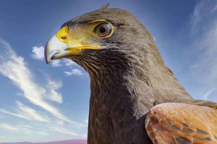 Close-up of a raptor bird
