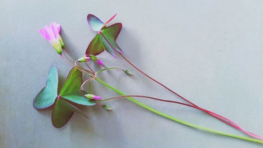 Close-up of pink flower and leaves with buds on wall