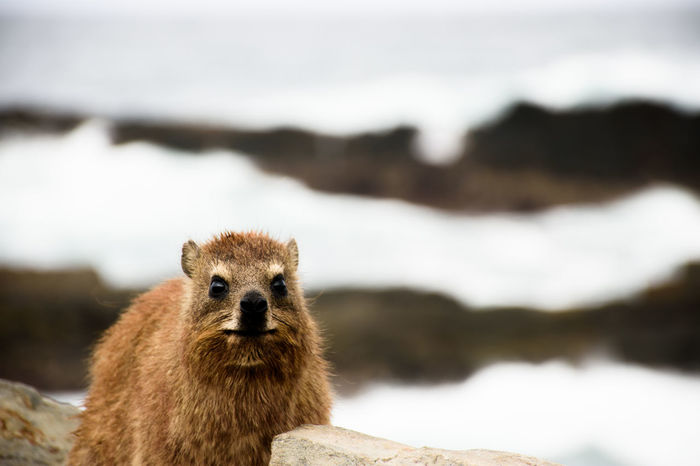 Dassie in Capetown Animal Themes Animal Wildlife Animals In The Wild Capetown Dassie Kapstadt Outdoors South Africa