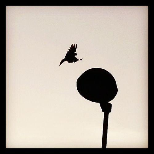 Fly Shot Bird Ig_padua nice tortora