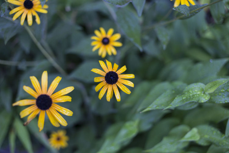 Close-Up Of Yellow Daisy Flowers Blooming Outdoors