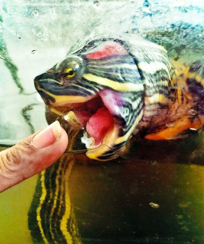 """""""Pong"""", my pet turtle.. Eyeem Philippines I ♥ Turtles  Funny Stuff Playing With My Pet"""