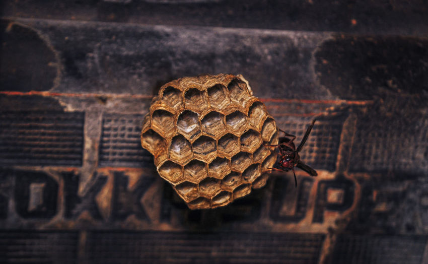 Guarded wasp nest