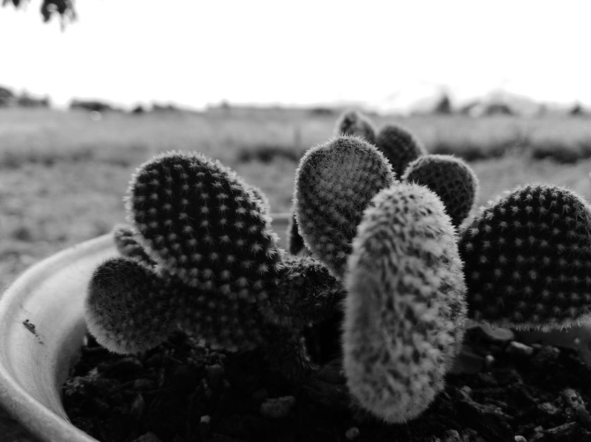 EyeEm Selects Wilderness Area Desert Cactus RISK Spiked Uncultivated Arid Climate Danger Spiky Ecosystem