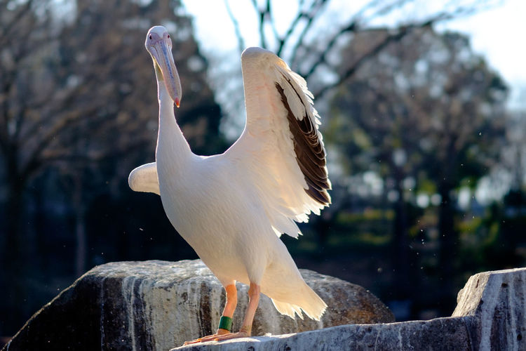 Full length of pelican perching on rock