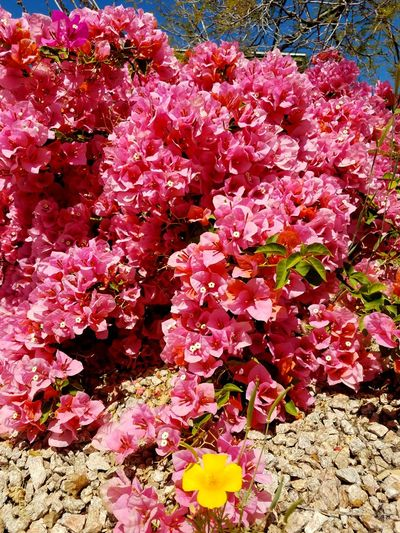 Going for a walk in the neighborhood. Beautiful In The Springtime Pink Color Clear Sky Freshness Desert Landscape Spring Flowers Close-up Day Outdoors Beauty In Nature Fragility Backgrounds Full Frame Low Angle View Bougainvillae