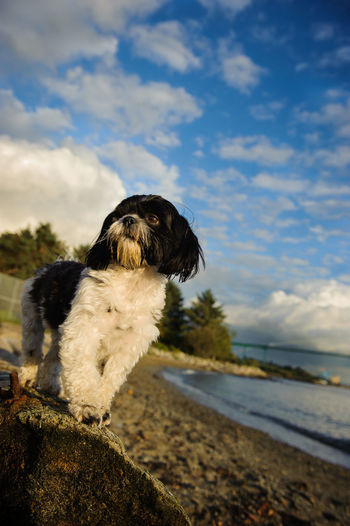 Shih Tzu On Rock At Beach Against Sky