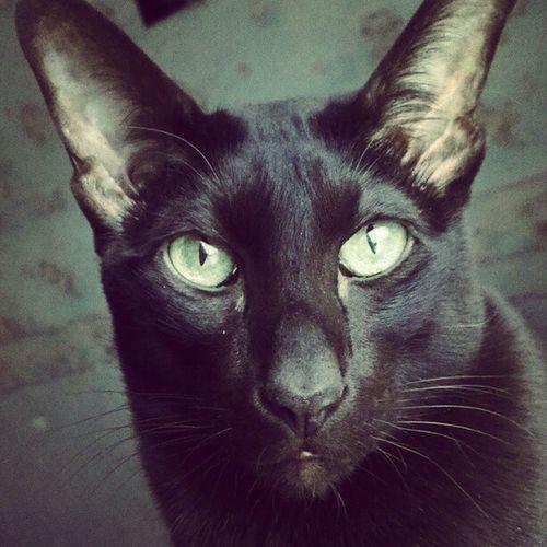 Oriental Cat Marseilles
